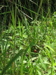 Spot the wild strawberry!