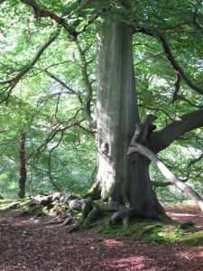 New Forest beech tree